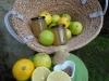 citrus-bergamia-1