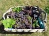 druivengelei-steranijs